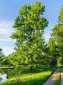 Eiche Queen-Auguste-Victoria-Park (Umkirch) jm30224.jpg