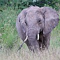 Elephant, part of herd with babies, charges (41948377315).jpg