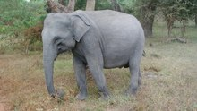 Fail:Elephant eating Yala Sri Lanka.ogv