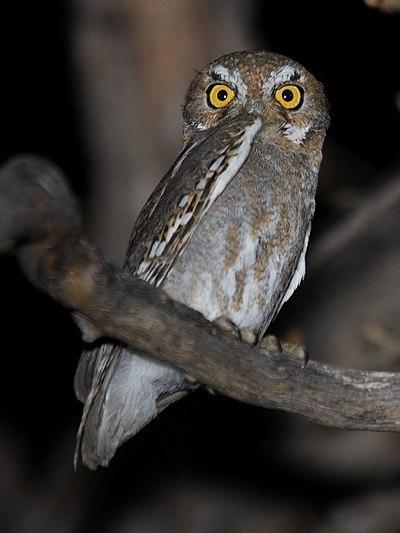 Lietderīga informācija par dzīvniekiem un putniem, online web kameras - Page 7 400px-Elf_Owl