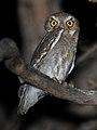 Elf Owl.jpg
