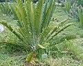Encephalartos natalensis KirstenboshBotGard09292010A.jpg