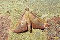 Endotricha flammealis 2 (FG) (37383521495).jpg