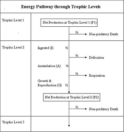 Printables Energy Flow In Ecosystems Worksheet worksheets trophic levels worksheet laurenpsyk free energy efficiency arsetibe23s soup toefl listening a lecture from