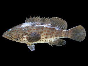Orange-spotted grouper - Image: Epinephelus coioides Thailand