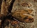 Epinotia solandriana - Листовёртка изменчивая (41269111871).jpg
