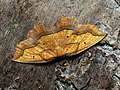 Epione repandaria - Bordered beauty - Каёмчатая пяденица тополёвая (27053844688).jpg