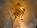 Epiphyllum-oxipetalum-stamens-detail.JPG