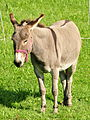 Equus asinus - Ufenau 2011-07-25 17-32-24.jpg