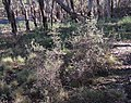 Ericaceae sp. (37804645142).jpg
