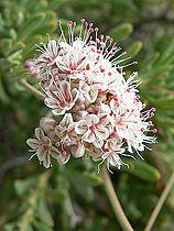 Eriogonum fasciculatum 6.jpg