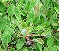 Eriogonum ursinum 6.jpg