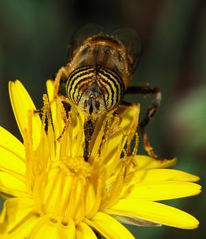 Pollinator - A syrphid fly (Eristalinus taeniops) pollinating a common hawkweed