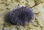 Erizo de mar violáceo (Sphaerechinus granularis), Parque natural de la Arrábida, Portugal, 2020-07-21, DD 01.jpg