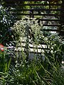Eryngium eburneum 20070810-1308-120.jpg