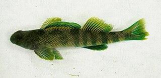 Greenside darter species of fish