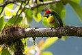 Eubucco versicolor, Versicolored Barbet.jpg
