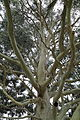 Eucalyptus dalrympleana-IMG 6017.jpg