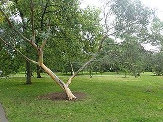 <i>Eucalyptus glaucescens</i> Species of eucalyptus