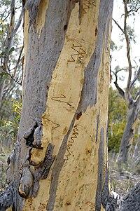 Eucalyptus haemastoma bark