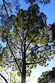 Eucalyptus saligna kz01.jpg