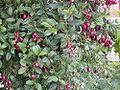 Eugenia myrtifolia.jpg