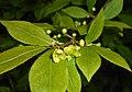 Euonymus alatus 2016-05-09 9651.jpg