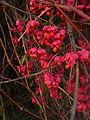 Euonymus europaeus fruit 2.jpg