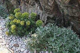 Euphorbia-characias-total.JPG