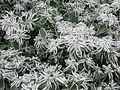 Euphorbia Kilimanjaro (302274457).jpg