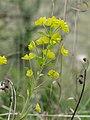 Euphorbia amygdaloides in Aveyron (8).jpg