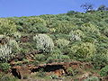 Euphorbia canariensis (Puntagorda) 03.jpg
