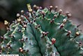 Euphorbia horrida Major 2zz.jpg