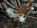 Euphorbia mammillaris f. variegata 2016-05-20 1039.jpg