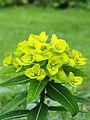 Euphorbia oblongata.JPG