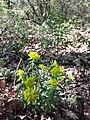 Euphorbia polychroma sl36.jpg