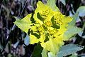 Euphorbia serrata (15298177519).jpg