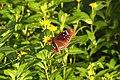Euploea midamus (36054743672).jpg
