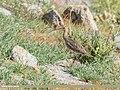 Eurasian Curlew (Numenius arquata) (49609531316).jpg
