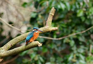 River Darent - European kingfisher on the Darent at Lullingstone Castle