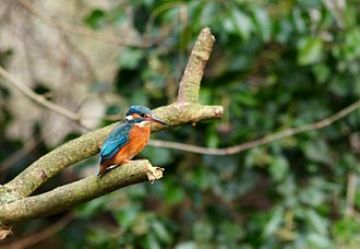 River Glaven - The kingfisher