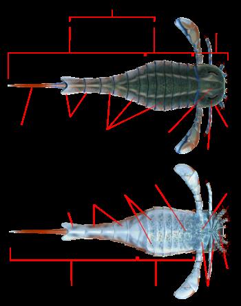 Eurypterus anatomy.png