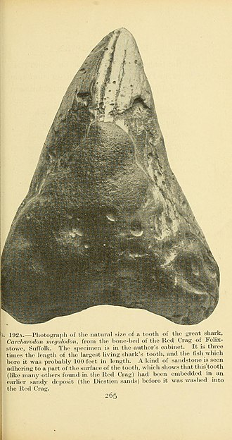 Red Crag Formation - Shark tooth fossil from the Red Crag at Felixstowe in Suffolk