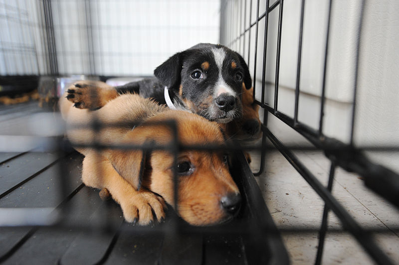 File:FEMA - 38417 - Dogs at a shelter for displaced pets in Texas.jpg