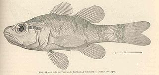 <i>Zapogon</i> genus of fishes