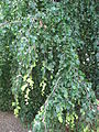 Fagus sylvatica 'atropurpurea pendula' leaves 03 by Line1.jpg