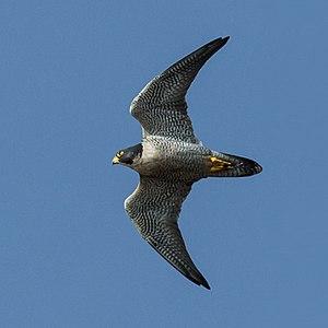 Cribyn (mountain) - Peregrine falcon in flight