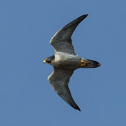 Falco peregrinus -Morro Rock, Morro Bay, California, USA -flying-8