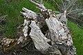 Fallen tree (512703425).jpg