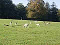 Fallow Deer - South Weald - geograph.org.uk - 575429.jpg